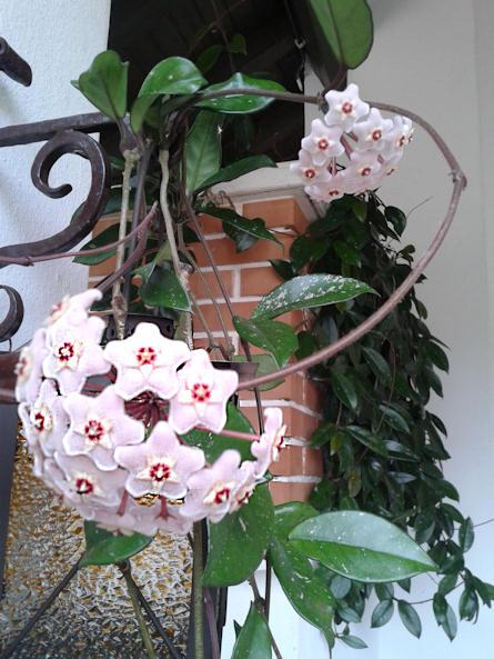 La pianta dei fiori di cera la gioi for Pianta fiori di cera